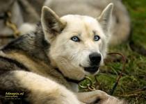 husky aan de stakeout met blauwe ogen
