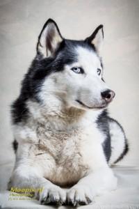 tikka de husky poseert in fotostudio