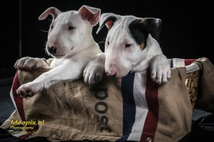 2 Bull terrier puppies in a dutch mail bag