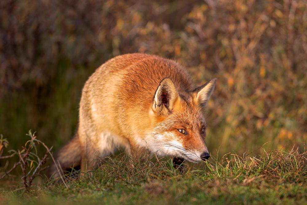 Prachtige vos in de gouden gloed van de ondergaande zon in de AWD
